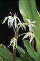 View Hedychium hasseltii Blume digital asset number 2