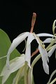 View Hedychium hasseltii Blume digital asset number 4