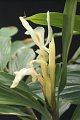 View Haniffia albiflora K. Larsen & J. Mood digital asset number 2