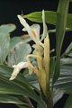 View Haniffia albiflora K. Larsen & J. Mood digital asset number 3