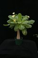 View Brighamia insignis A. Gray digital asset number 1