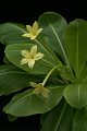 View Brighamia insignis A. Gray digital asset number 4