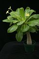 View Brighamia insignis A. Gray digital asset number 6