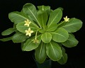View Brighamia insignis A. Gray digital asset number 7