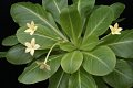 View Brighamia insignis A. Gray digital asset number 8