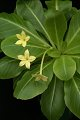 View Brighamia insignis A. Gray digital asset number 9