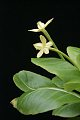 View Brighamia insignis A. Gray digital asset number 11