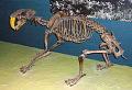 View Smilodon californicus digital asset number 4