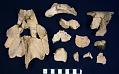 View Caretta patriciae Zug, 2001 digital asset number 1