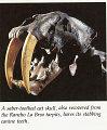 View Smilodon californicus digital asset number 2