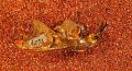 View Ptilodus gracilis (Gidley, 1889) digital asset number 2
