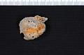 View Echinosteges guadalupensis (Shumard) digital asset number 0