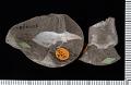 View Callianassa spinulosa Rathbun digital asset number 0