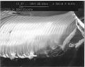 View Ophelia denticulata Verrill, 1875 digital asset number 5