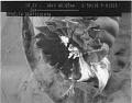 View Ophelia denticulata Verrill, 1875 digital asset number 7