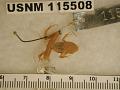 View Craugastor pygmaeus digital asset number 1