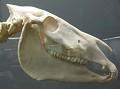 View Equus burchellii digital asset number 1