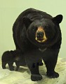 View Ursus americanus digital asset number 0