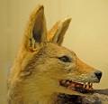 View Canis mesomelas digital asset number 1
