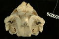 View Mesoplodon stejnegeri True, 1885 digital asset number 4
