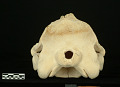 View Mesoplodon stejnegeri True, 1885 digital asset number 5