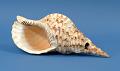 View Shell Trumpet digital asset number 0