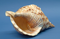 View Shell Trumpet digital asset number 5