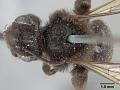 View Andrena nigerrima Casad, 1896 digital asset number 0