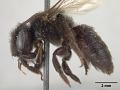 View Andrena nigerrima Casad, 1896 digital asset number 3