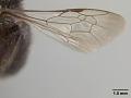 View Andrena nigerrima Casad, 1896 digital asset number 4