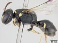View Hylaeus (Paraprosopis) krombeini Snelling, 1980 digital asset number 3