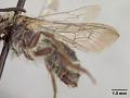 View Andrena (Cnemidandrena) rodilla Donovan, 1977 digital asset number 4