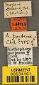 View Anthophora porterae Cockerell, 1900 digital asset number 2