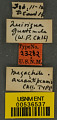View Megachile aurantipennis Cockerell, 1912 digital asset number 2