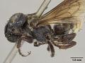 View Megachile aurantipennis Cockerell, 1912 digital asset number 3