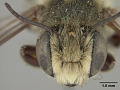 View Megachile mendica coquilletti Cockerell, 1915 digital asset number 1