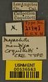 View Megachile mendica coquilletti Cockerell, 1915 digital asset number 2