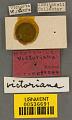 View Megachile victoriana Mitchell, 1934 digital asset number 3