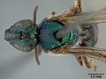 View Augochlora quiriguensis Cockerell, 1913 digital asset number 0