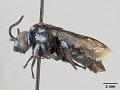View Crocisa lilacina Cockerell, 1919 digital asset number 3