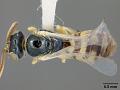 View Perdita pallidipes Timberlake, 1964 digital asset number 0