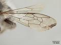 View Lonchopria inca Cockerell, 1914 digital asset number 4