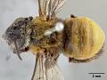 View Tetralonia sheffieldi umbiloensis Cockerell, 1917 digital asset number 0
