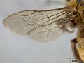 View Tetralonia sheffieldi umbiloensis Cockerell, 1917 digital asset number 4