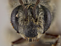 View Andrena (Trachandrena) arenakensis Mitchell, 1960 digital asset number 1