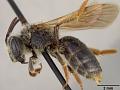View Andrena (Trachandrena) arenakensis Mitchell, 1960 digital asset number 3