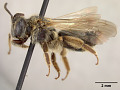 View Andrena (Leucandrena) chippewaensis Mitchell, 1960 digital asset number 3