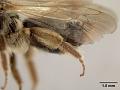 View Andrena (Leucandrena) chippewaensis Mitchell, 1960 digital asset number 4