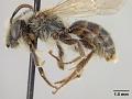 View Andrena (Ptilandrena) parakrigiana digital asset number 3