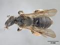 View Andrena (Gymnandrena) seviensis digital asset number 0